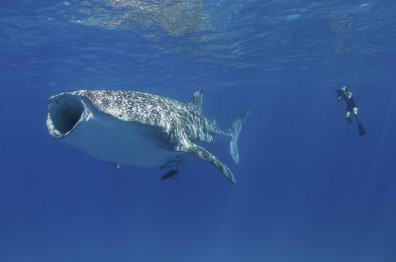 The giant whale shark up close. Aimee Jan photo.