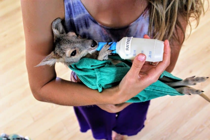 The joeys, like this 6-month old euro named Raynee, are lactose intolerant and can only drink special kangaroo milk formula that Mandy buys in bulk.