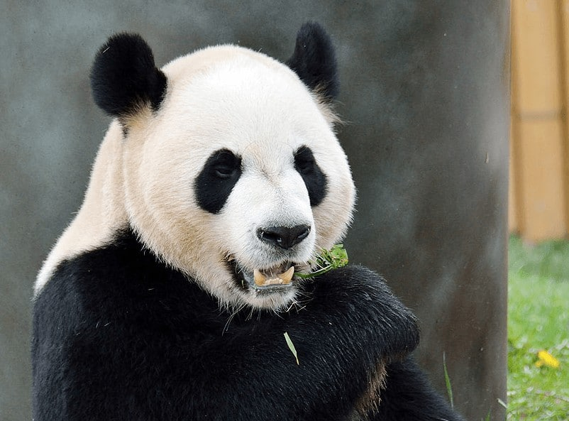 Da Mao is one of the pandas who live at the Toronto Zoo, who are leaving in March 2018 to return to China. Toronto Zoo photo.