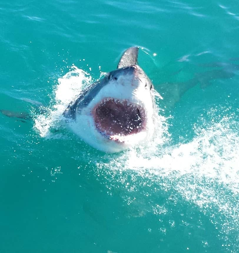 A good look at the many rows of teeth on a great white shark.