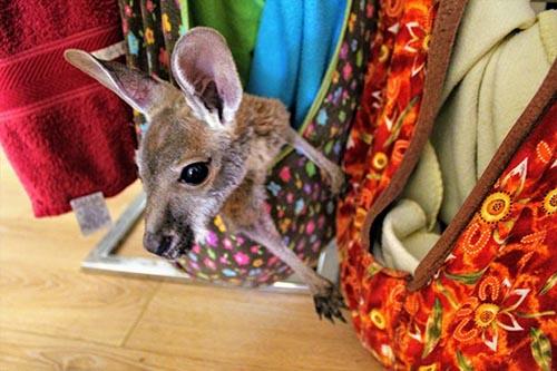 Kangaroo Cuddles in Kununurra, Western Australia