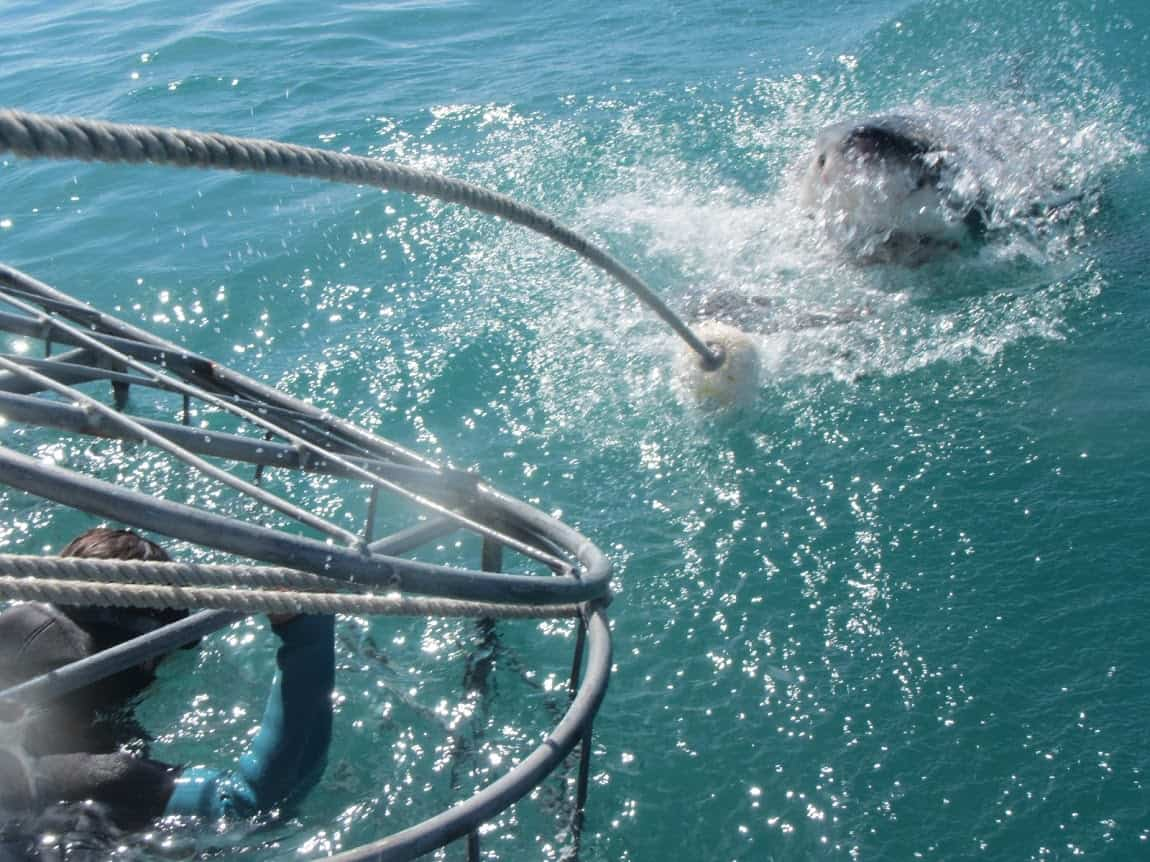 A shark roils the water near the cage.