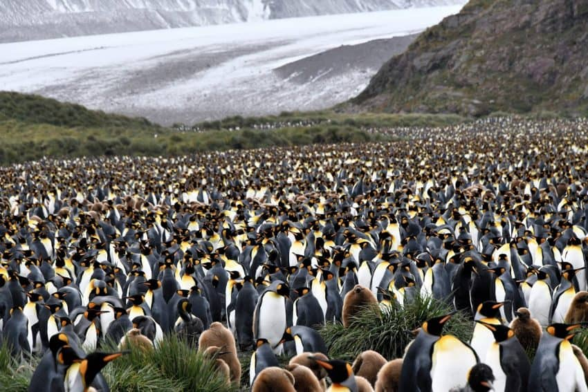 More than 60,000 King penguins make their home here.