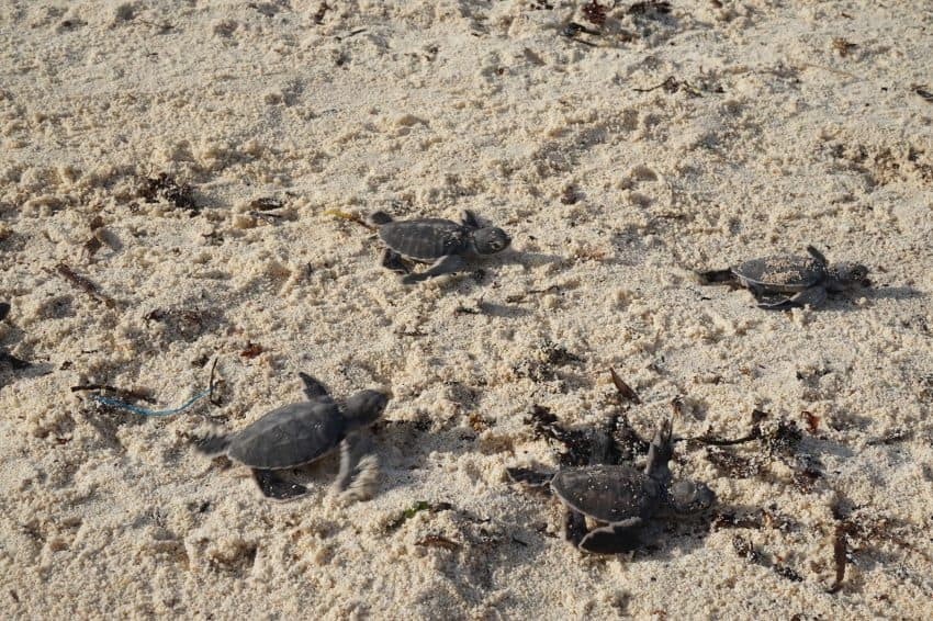 Baby turtles make their way to the ocean on Mafia Island, Tanzania.