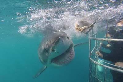 Swimming with South African Sharks