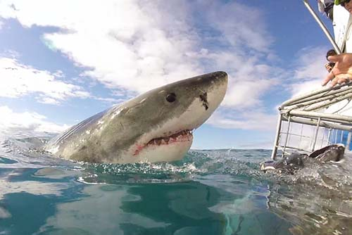 A shark popping out of the water as occupants of the cage are told to GET DOWN!