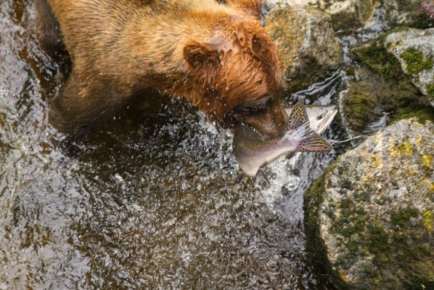 A bear chomps down on a salmon plucked from AnAn Creek.