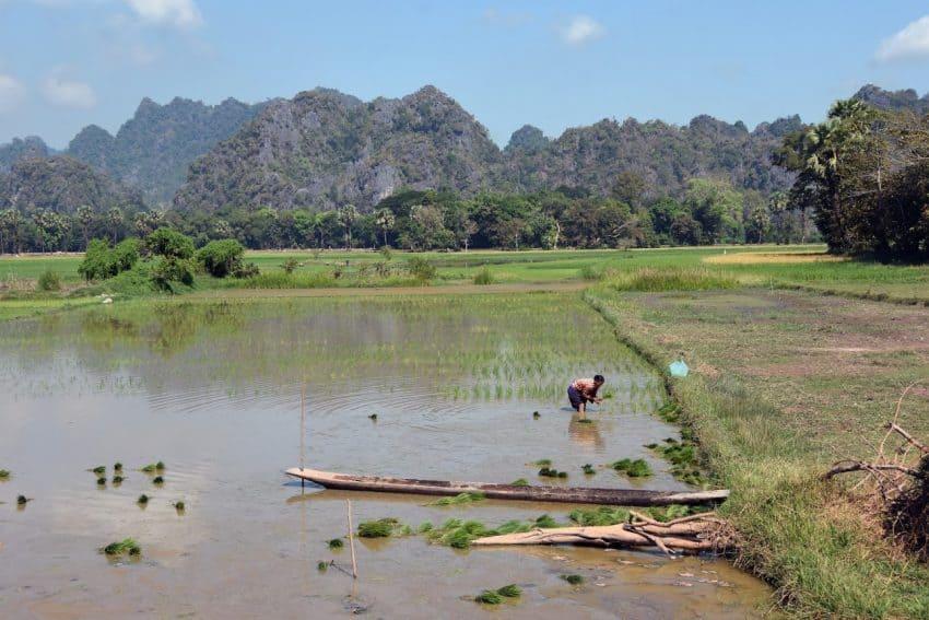 Planting rice in Myanmar. Mike Smith, Asia Photostock photos.