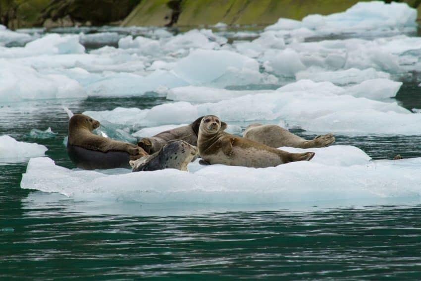 Seals relax in LeConte Bay, near Wrangell, Alaska.