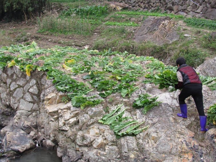 A local farmer lays out vegetables to dry.