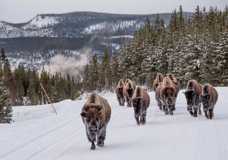 Nothing like a herd of frosted bison hogging the road in Yellowstone to bring on excitement within the safety of a snowcoach.