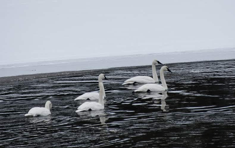 Trumpeter swans can frequently be seen on the Yellowstone and Madison Rivers of Yellowstone, gracefully floating with the current.
