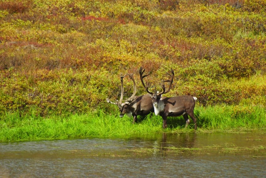Two male caribou with their antlers in velvet grazing alongside a stream in Gates of the Arctic National Park