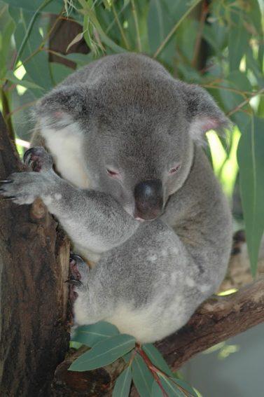 A Koala on Magnetic Island.