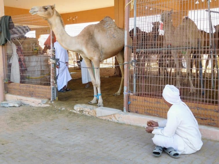Proud camel and his owner at Al Ain camel market. | GoNOMAD Travel