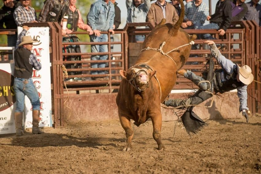 Friday night of the Bucking Horse Sale is reserved for showcasing bucking bulls put up for auction.