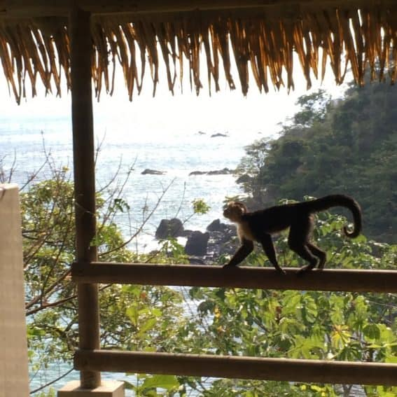 Capuchin monkey on patio of Arenas del Mar Resort, Costa Rica. Amy Fries photos.
