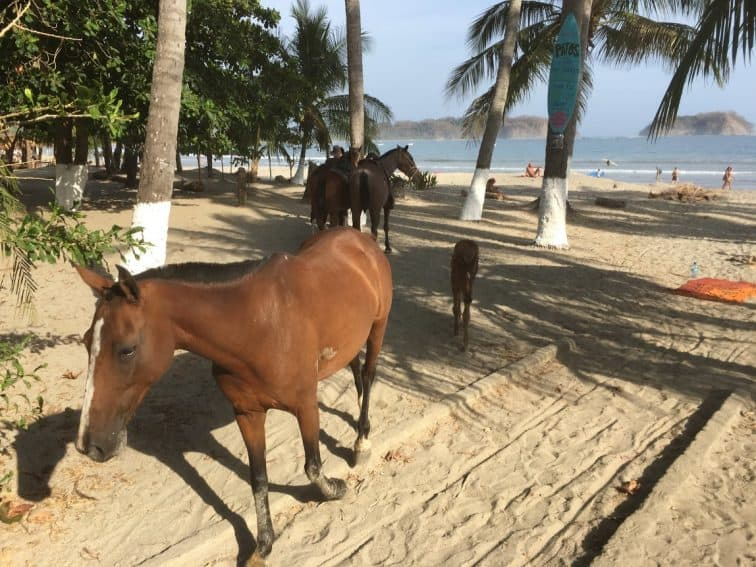 Mare and colt wandering the sands of Playa Samara.