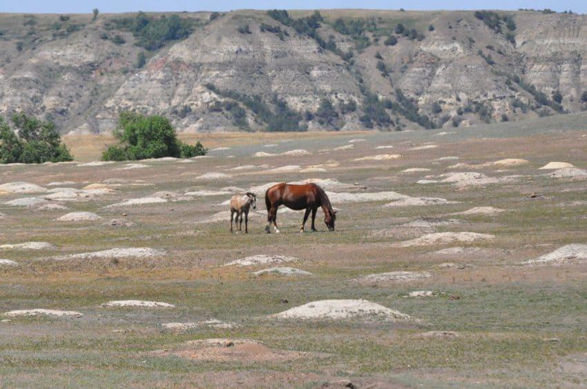 Wild horses graze in a prairie dog town in the Theodore Roosevelt National Park in Medora, North Dakota. Liz Tipping photos. | GoNOMAD Travel