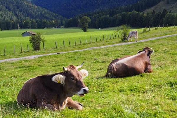 Cows wait for their time to come and take their walk down the mountain in Bavaria, Germany. | GoNOMAD Travel