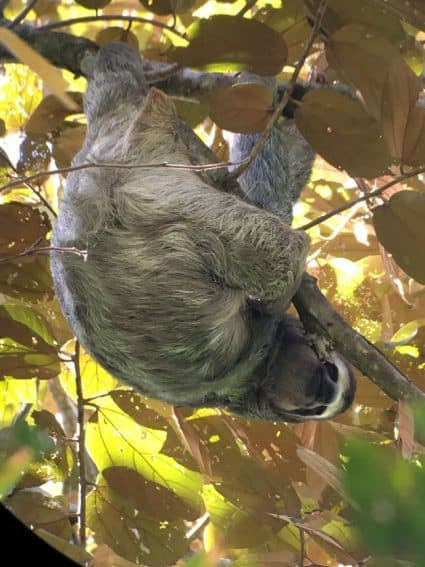 A hanging three-toed sloth at the park.