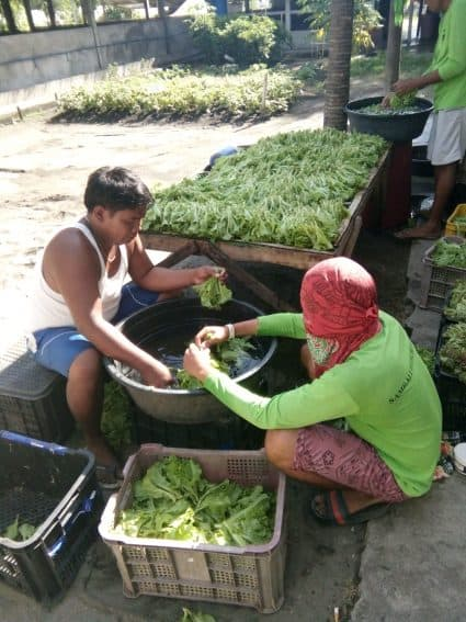 Sambali workers harvesting spinach, okra, mint, and peppers. This particular Saturday, about 50 kilos were picked and readied to be taken to markets across Zambales, and to Manila as well, about five hours away.