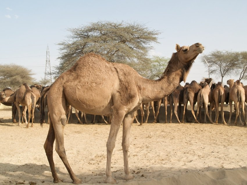 A one-hump camel, the type that Jeffrey Tayler and his guides rode on their journey.