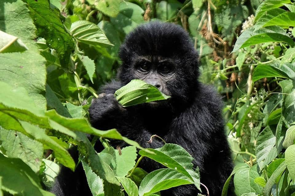 Close encounter with a baby gorilla in Uganda's Impenetrable Forest