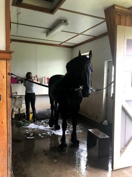 A Friesian getting ready to have a bath in the barn.