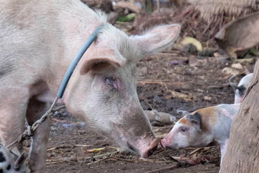 A pig in Ometepe Island, Nicaragua.