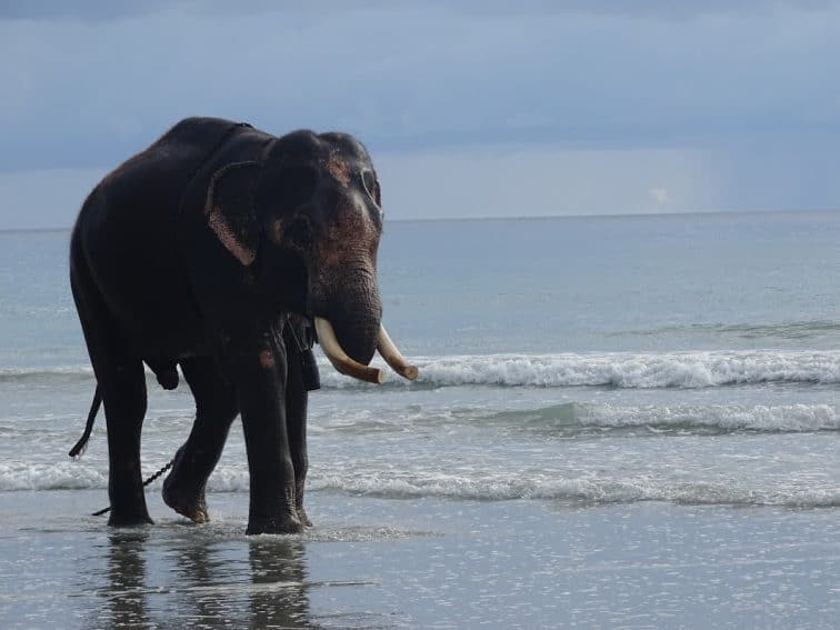 An elephant on the beach in Havelock, Andaman Islands.