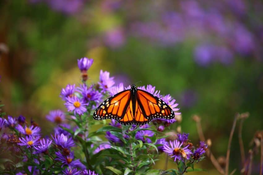 Monarch at Fort Williams State Park - photo by Rachael McGrath