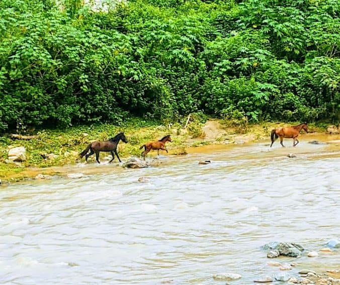 Horses run wild along the river that flows alongside Hijos del Josco in Otuado, a town in the west-central region of Puerto Rico not often visited by tourists.