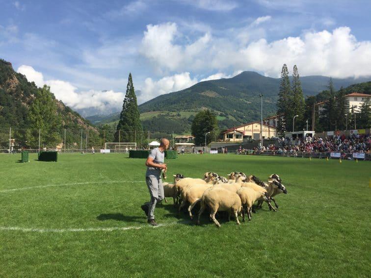 A shepherd corrals the flock