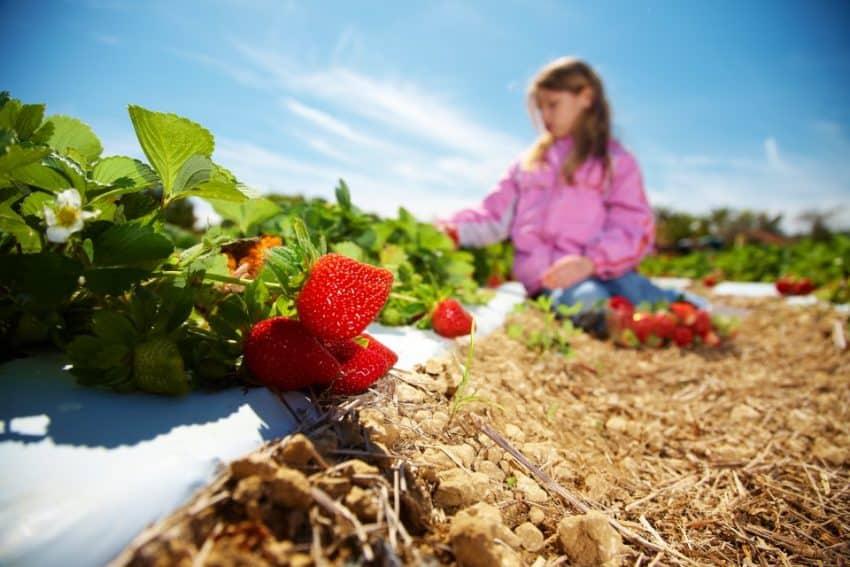 Picking strawberries at Knaus Berry Farm, Miami Florida.