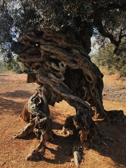 A millennial olive tree with a peculiar shape that was once used as a hideout. Well over a thousand years old, the olives from this tree make their very own extra virgin olive oil.