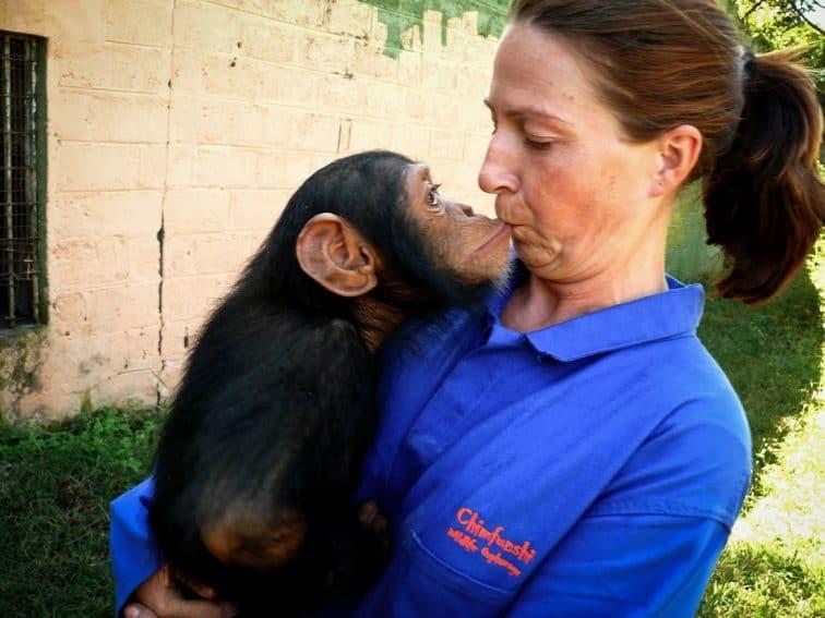 Chimpanzees at Chimfunshi: New Lives in Zambia 2