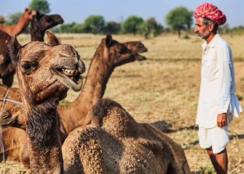 A Raika camel herder has a special relationship with his animals. Here he sings for them.