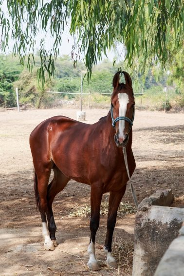 One of the thoroughbred Marwari horses you get to ride on a Mountbatten Safari.