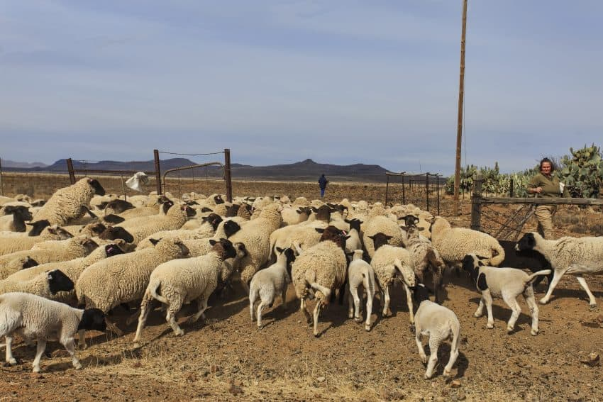 Sheep is the business in the region.