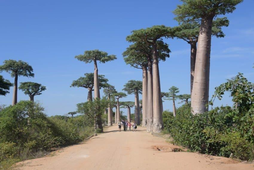 The Avenue of the Baobob trees.