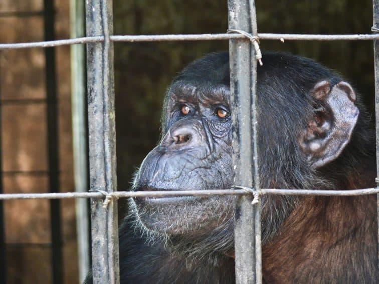 Chimpanzees at Chimfunshi: New Lives in Zambia 1