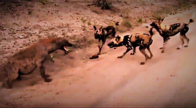 African Wild Dogs that may be found on the DInder National Reservation