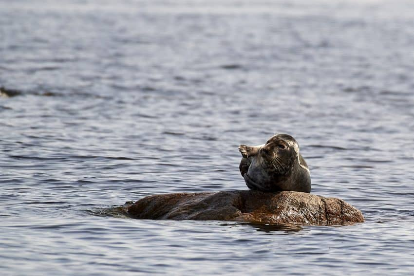 A seal relaxes on a rock in northern Sweden.