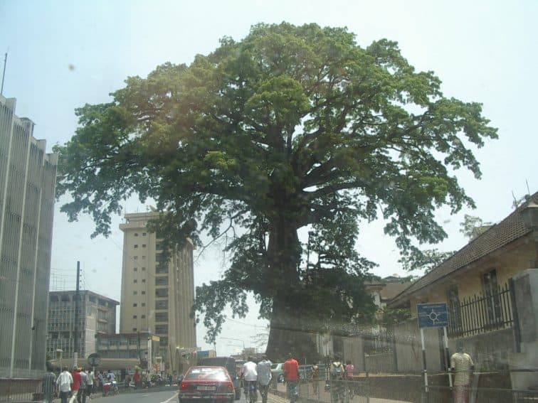 The National Cotton Tree in Sierra Leone's capital city, Freetown.