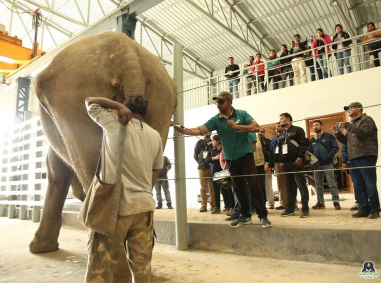 Elephant treatment procedure being carried out at the Wildlife SOS Elephant Hospital