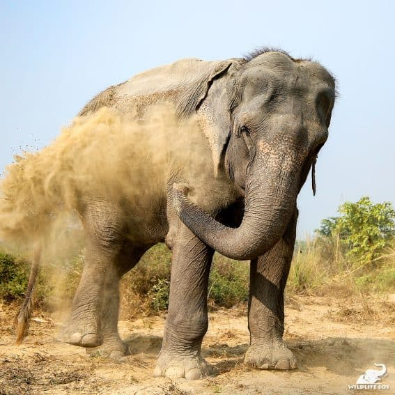 Holly enjoying a dust bath at the Elephant Conservation and Care Center.