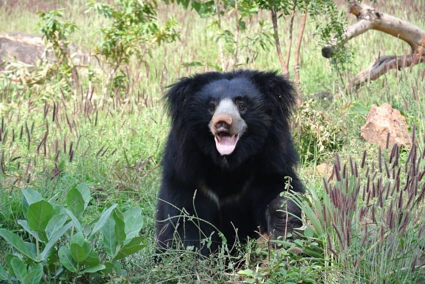 The Indian Sloth Bear was included in one of Wildlife SOS's major animal rescue projects.