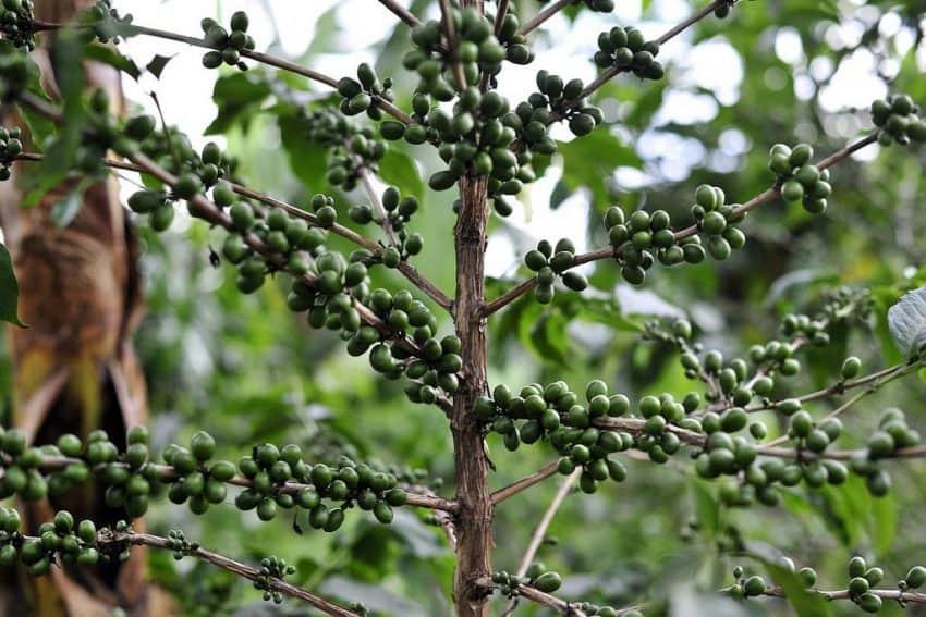 Coffee plants in Rwanda, Africa.
