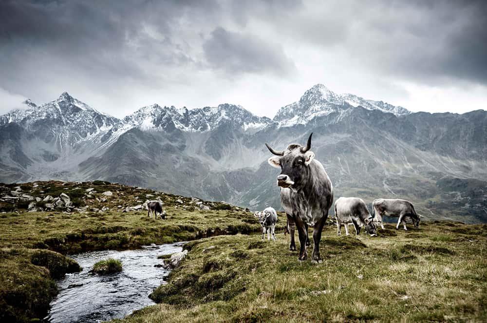 Tiroler Grauvieh East Tirol, Austria © Werner Lampert GmbH, Photo Ramona Waldner